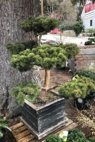"Pinus mugo ""March"", Gartenbonsai"